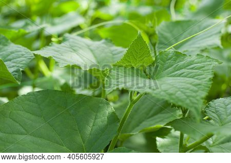 Plant A Cucumber In Your Garden. Texture Of Large Green Cucumber Leaves. Green Background With Large