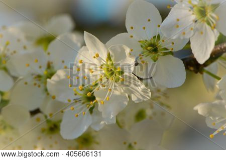 Blooming Apple Tree With Delicate White Flowers. A Branch Of A Blossoming Apple Tree In Spring With