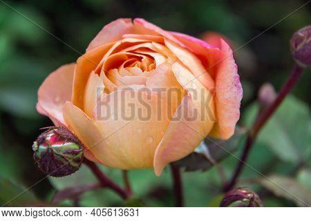 Close-up Of Garden Rose Lady Emma Hamilton
