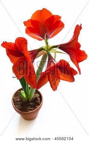 shot of red amaryllis flower isolated