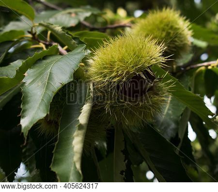 Fresh Chestnuts With Open Husk.branch Of Chestnut With Fruits. Castanea. Chestnuts.