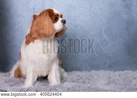 Cavalier King Charles Spaniel Red And White Sits In Front Of A Gray Background On A Light Fluffy Car