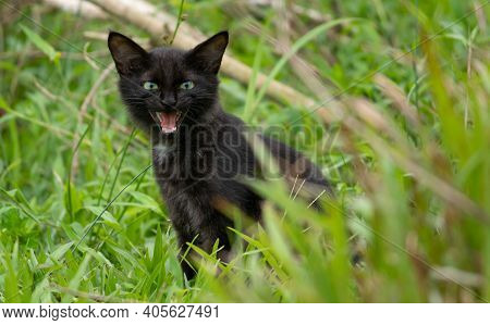 A Cute Adorable Dark Furry Cat Opens Its Mouth And Meowing In The Grass Field, Sitting In The Shaded