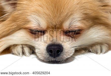 Pomeranian Pomeranian Close-up. Dog's Face On A White Background. Dog
