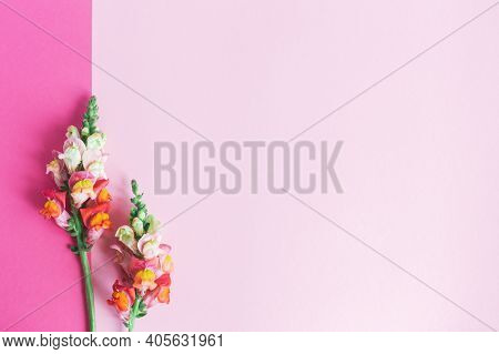 Pink And White Flowers Of Snapdragon Or Antirrhinum Majus On A Pink Background. Place For Text. Flat