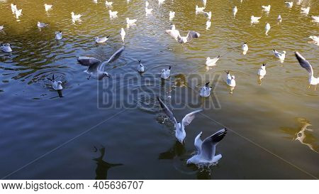 Flock Of Birds At Lake Freshwater In Sunny Day. White Seagulls Swimming And Flying While Feeding At