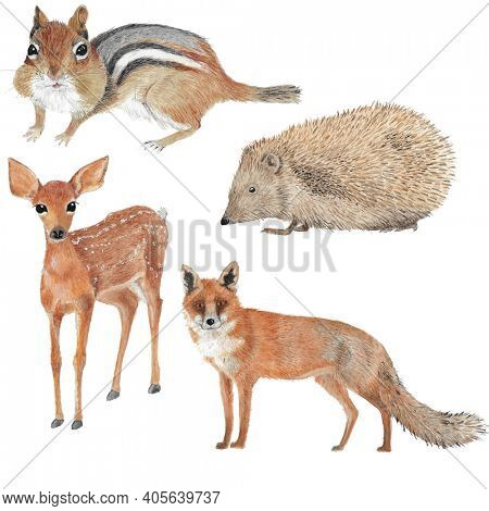 Four different forest animal illustrations in watercolor as fawn, chipmunk, fox and hedgehog
