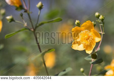 Bright Yellow Flower Of Hypericum Shrubby. Beautiful Close-up Photo For Articles About Summer, Caref