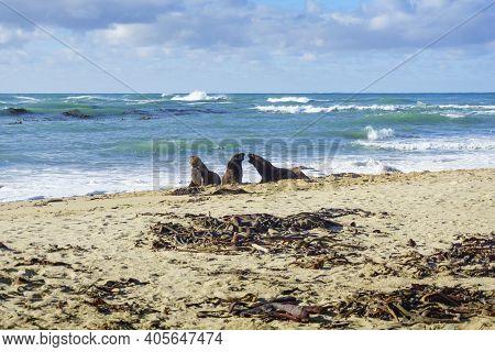 Three Nz Fur Seals Challenging On Catlins Beach. South Island, New Zealand.