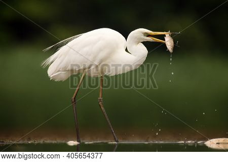 The Great Egret (ardea Alba), Also Known As The Common Egret With Caught Fish. A Large White Heron M