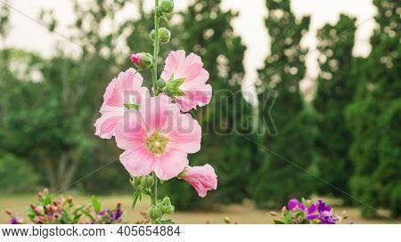 Pink Hollyhocks Flower Plant In A Garden.