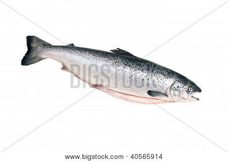 Scottish Atlantic Salmon fish (Salmo solar)