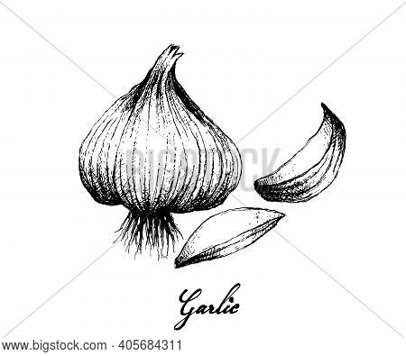 Herbal Plants, Illustration Of Hand Drawn Sketch Of Dried Garlic Bulb Used For Seasoning In Cooking.