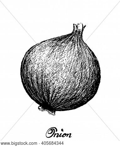 Herbal Plants, Illustration Hand Drawn Sketch Of Fresh Whole Onion Used For Seasoning In Cooking. Is