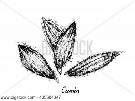 Herbal Plants, Hand Drawn Illustration Of Dried Cumin Or Cuminum Cyminum Seed, Used For Seasoning In