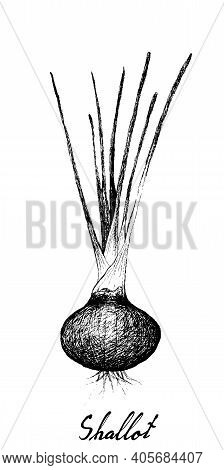 Herbal Plants, Illustration Hand Drawn Sketch Of Fresh Shallots, Spanish Onions, Or Red Onions Used
