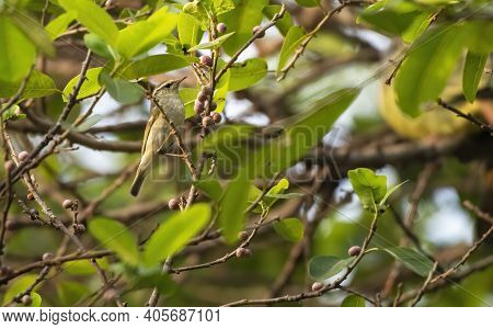 The Arctic Warbler Perching On The Branch , Thailand