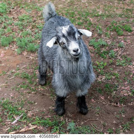 Cute Goat Kid Gray Hair Looking Funny And Lovely. Baby Goat Pygmy Animal Closeup On Field Farm. Newb