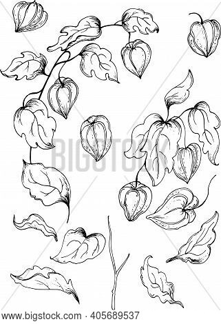 Set Of Hand Drawn Flowers Physalis .monochrome Vector Illustrations In Sketch Style.vector Illustrat