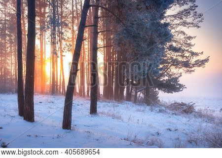 Winter Sunrise. Winter Forest In Sunlight In Frosty Mist Morning. Beautiful Scene Of Pine Trees And
