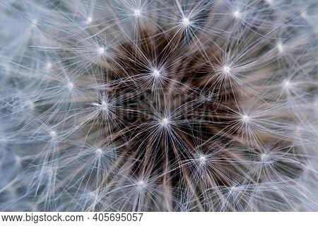 Dandelion Blowball. Close Up Of Dandelion Blowball.