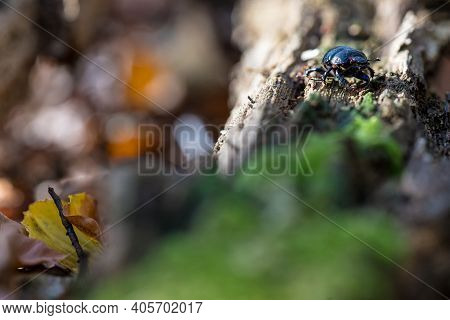 Dung Beetle (geotrupes Stercorarius) Climbing Over Green Mossy Bark From A Dead Tree Trunk