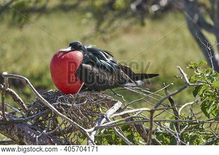 Magnificent Frigatebird, Fregata Magnificens, Is A Big Black Seabird With A Characteristic Red Gular