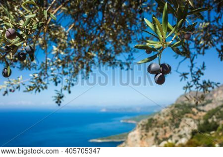 Organic ripe olives growing on olive tree with mediterranean coast background, Close up black olive fruit on tree branch, Eco farm products, healthy vegetarian food