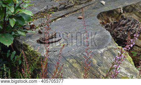 Viviparous Lizard, Or Common Lizard, Zootoca Vivipara (formerly Lacerta Vivipara), Is A Eurasian Liz