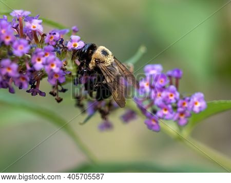 Black And Yellow Striped Bumble Bee Pollinating A Purple Butterfly Bush Flower Bloom With A Soft Gre