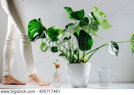Bare Woman Feet Walking To Beautiful Healthy Monstera In A Pot On The Floor
