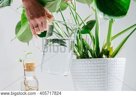 Hand Watering Beautiful Healthy Monstera In A Pot On The Floor