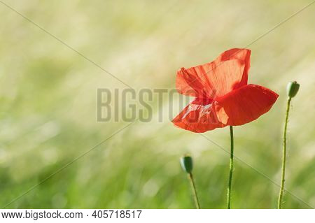 Beautiful Smooth Summer Background With Poppy Flower