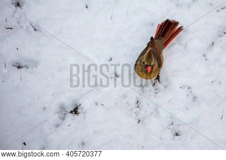 Northern Cardinal female on snow from above
