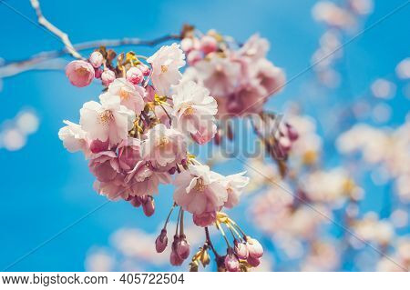 Spring Cherry Blossom On Soft Pastel Green Background. Branches Blossoming Cherry On Background Blue