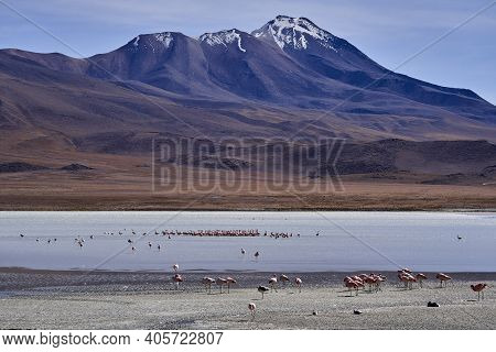 Andean Flamingo, Phoenicoparrus Andinus, In One Of The Lagoons Along The Lagoonas Route In The Highl