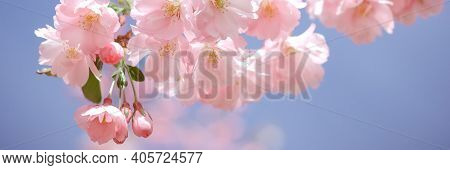 Pink Blossoms On The Branch With Blue Sky During Spring. Branch With Pink Sakura Blossoms And Blue S