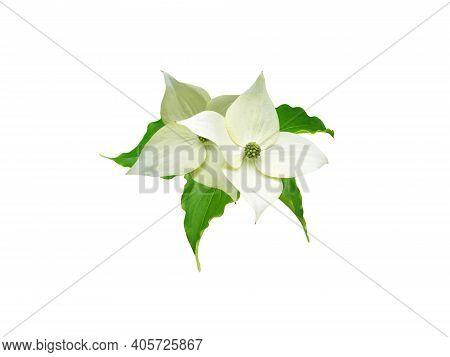 Dogwood Tree Greenish White Four Petal Flowers And Leaves Isolated On White. Cornus Kousa.