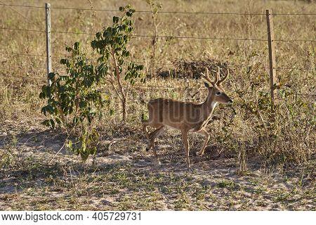The Marsh Deer, Blastocerus Dichotomus, Also Swamp Deer, Largest Deer Species From South America Can