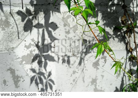 Virginia Creeper Vine Growing On A White Wall In The Summer Parthenocissus Quinquefolia, Known As Vi