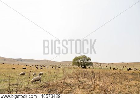 Farmer Sheep Graze In A Field Next To A Village Road. Sheep Graze In Meadow, In Field. Sheep With Bl