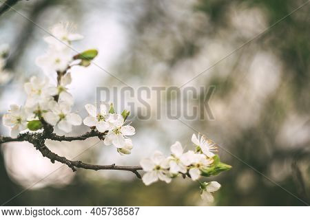 The Trees Are Blooming In Spring. Beautiful First Flowers Of Apple And Cherry, Dark Background, Copy