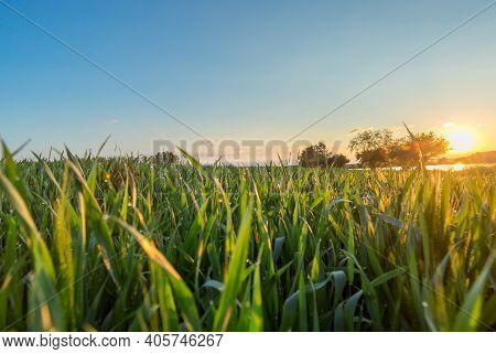 Green Grass Covered With Dew At Sunrise. Close-up Of Grass Stems. A Field With Green Plants At Sunri