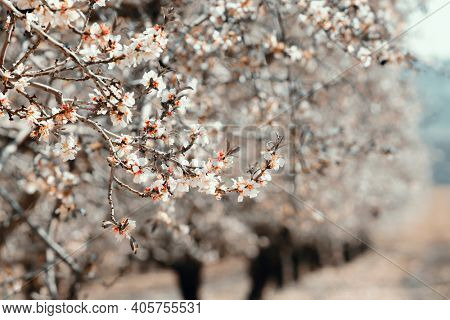 Almond Tree With Beautiful White blossoming flowers, Spring blossoming garden