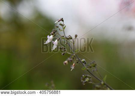 Isodon Japonicus Flowers In Autumn / Lamiaceae Perennial Grass