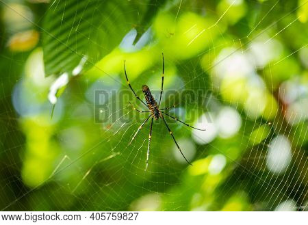 Yellow-legged Golden Orb Spider Close Up Against Out Focused Nature.
