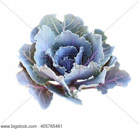 Blue Ornamental Kale Isolated On White. Decorative Cabbage. Brassica Oleracea Var. Acephala.