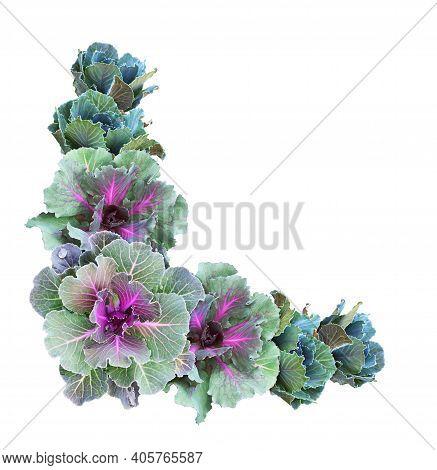 Ornamental Kales In A Corner Arrangement Isolated On White. Decorative Cabbage. Brassica Oleracea Va