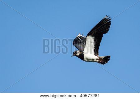 Vanellus Vanellus, Lapwing.
