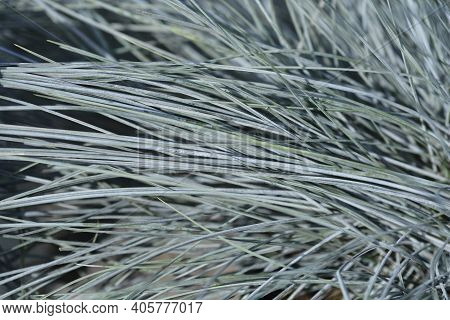 Blue Fescue Intense Blue Leaves - Latin Name - Festuca Glauca Intense Blue